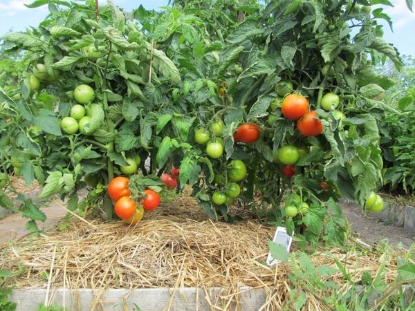 Выращивание помидоров на огороде