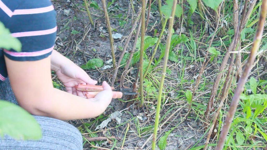 Вырезка ненужных побегов куста малины