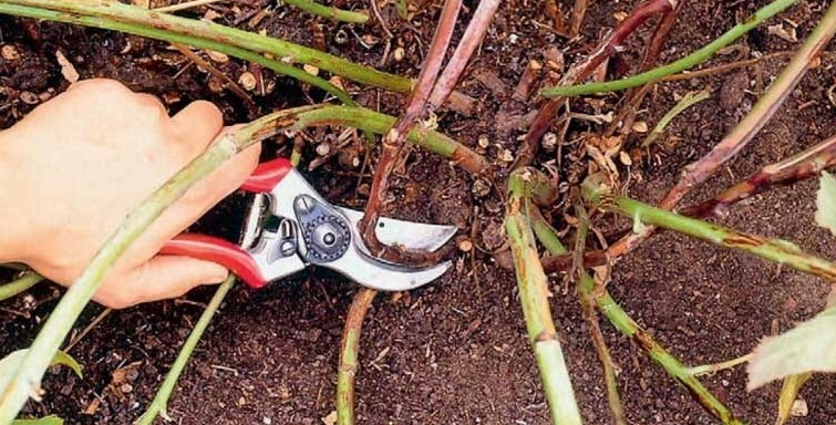 Обрезка кустов ремонтантной малины перед зимой