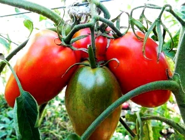Сорт томатов Де Браво