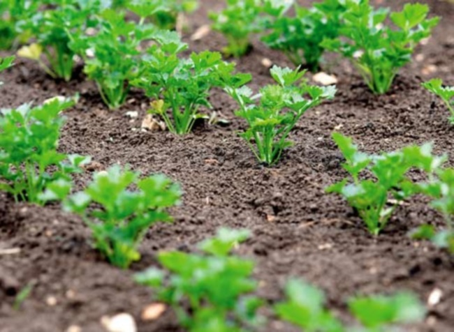 Молодая петрушка на огороде