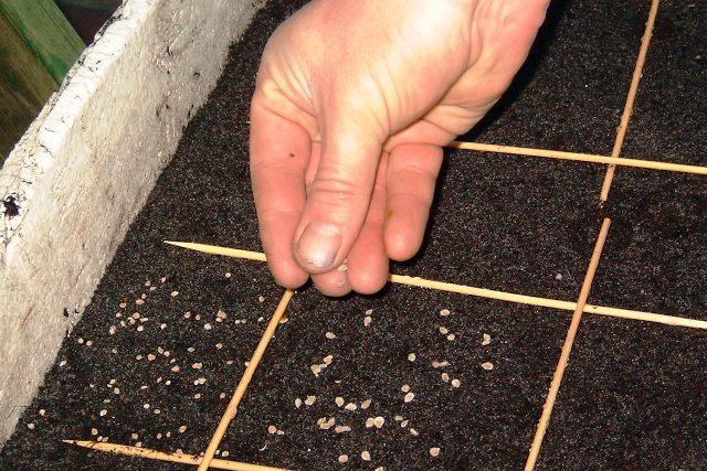 Посадка семян петрушки