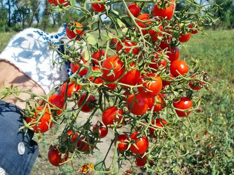 Сорт томатов сладкая гроздь
