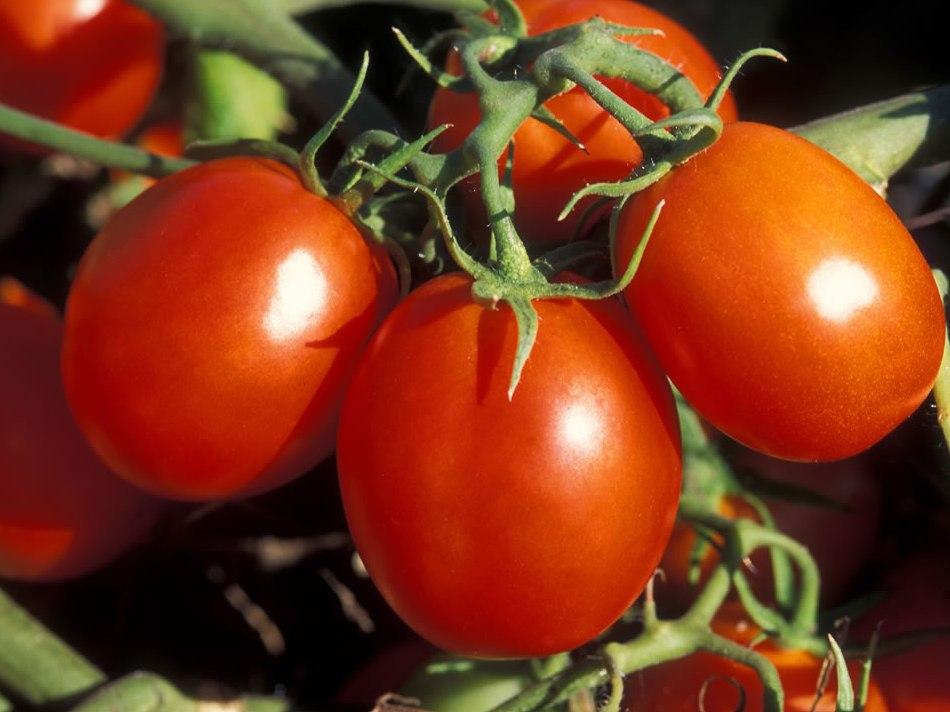 Сорт томатов Невский