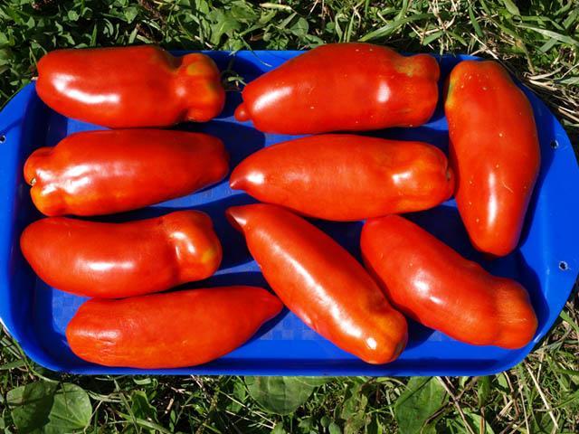 Сорт томатов перцевидные