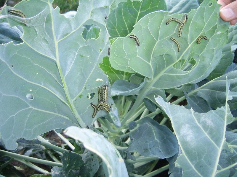 Вредители капусты - гусеницы