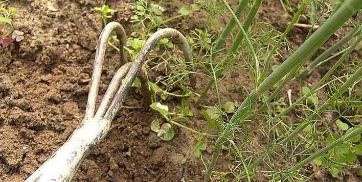Рыхление почвы и удаление сорняков у малины