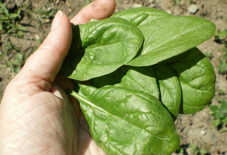 Шпинат выращивание и уход в открытом грунте