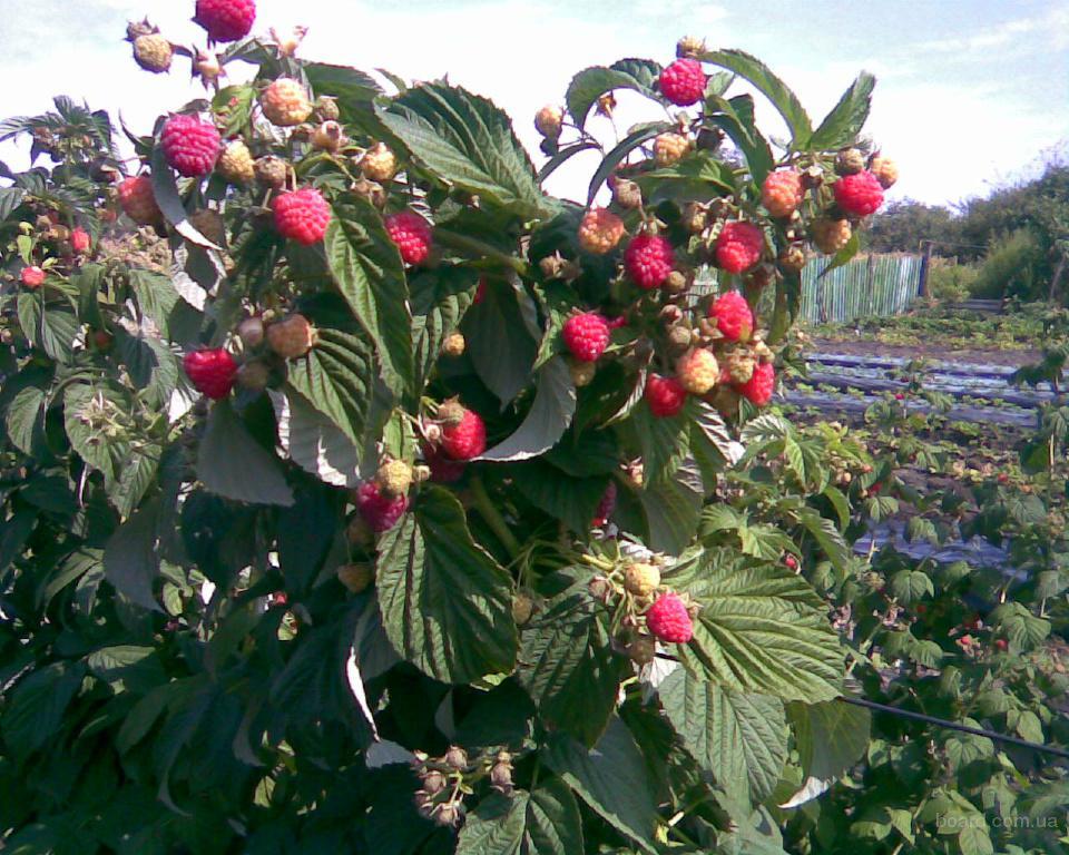 Здоровые побеги куста малины