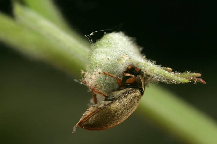 Малинный жук на бутоне