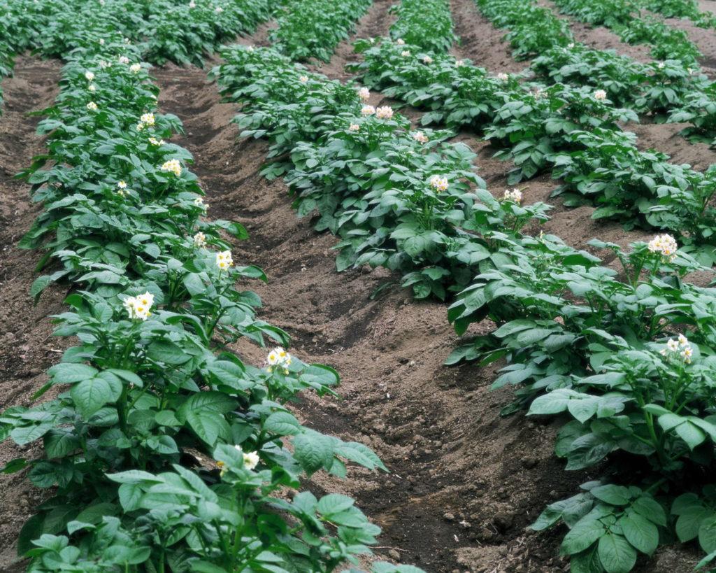 Картофель, растущий на грядке