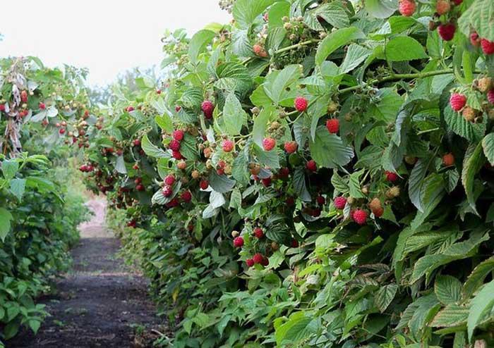 Кусты малины без подвязки