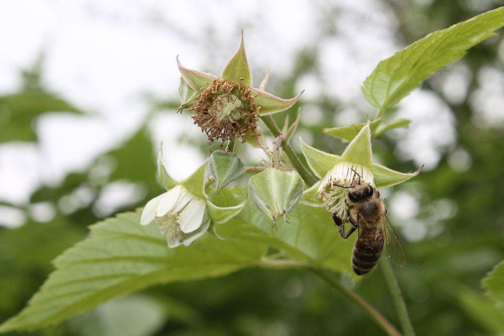 Цветение малины в саду