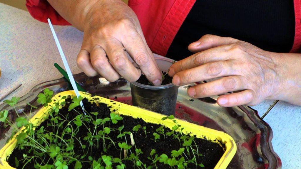 Пикирование рассады овоща