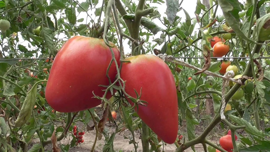 Коллекционный сорт томатов Чудо земли