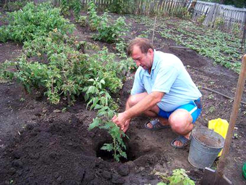 Посадка саженцев малины в почву
