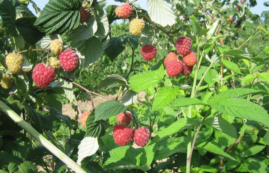 Кусты малины без подвязок и опор