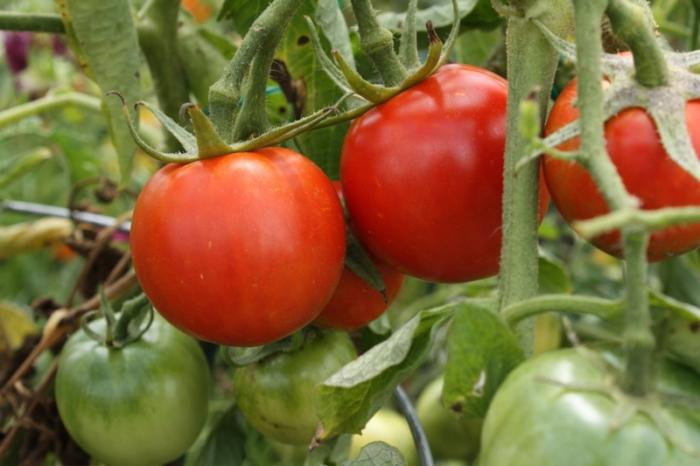 Сорт помидор Взрыв