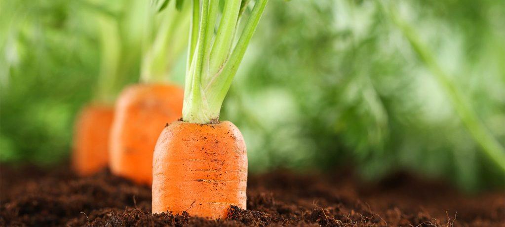 Морковь, растущая на грядке