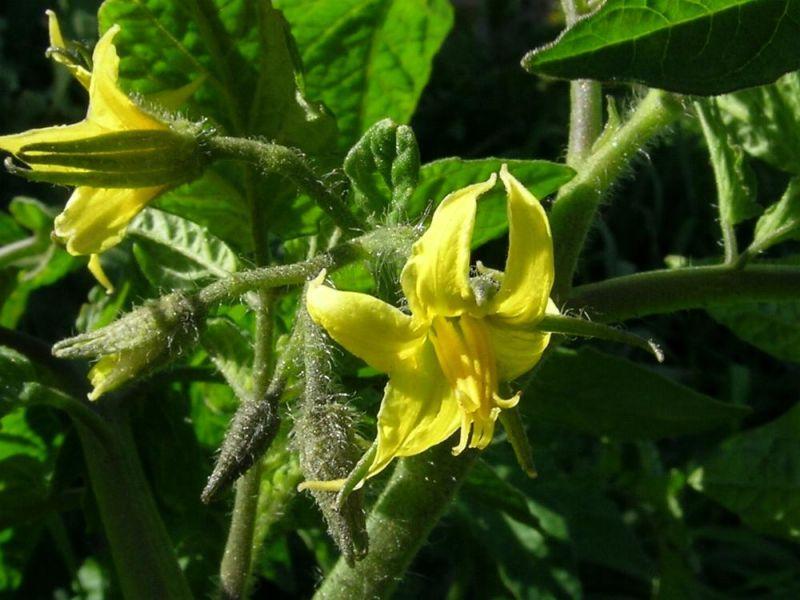 Цветущий куст помидора