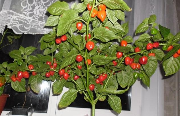 Перец, растущий дома