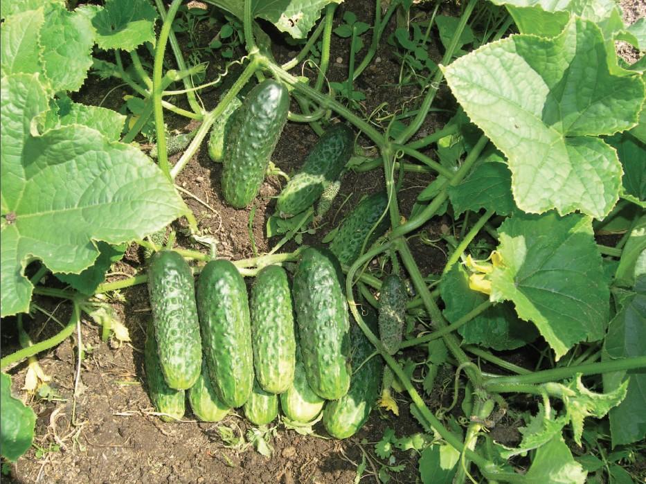 Урожай огурцов Задор F1