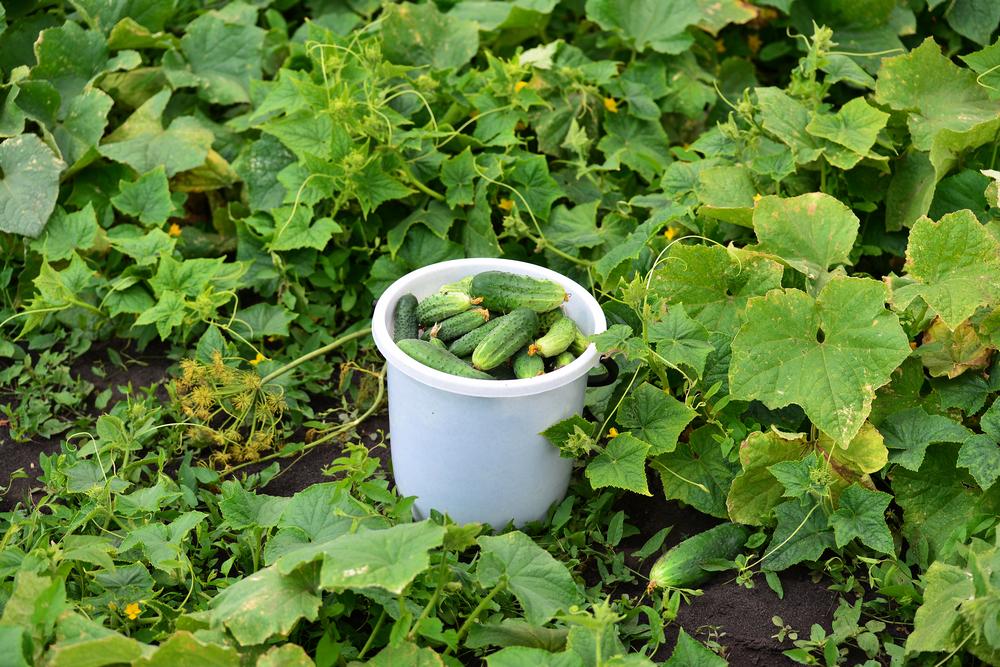 Урожай огурцов в ведре