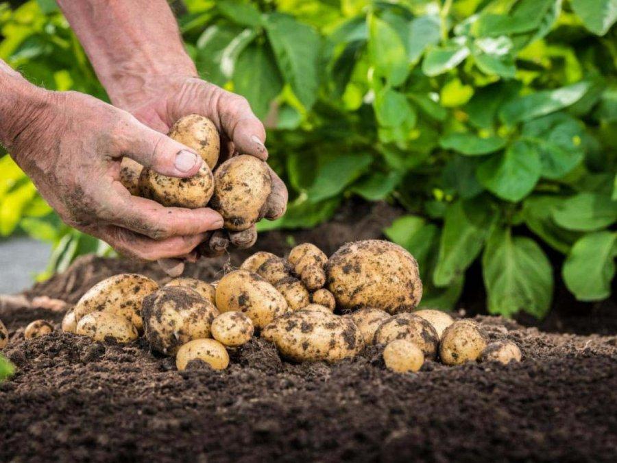 Урожай картофеля на огороде