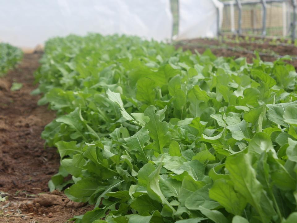 Урожай рукколы на грядке