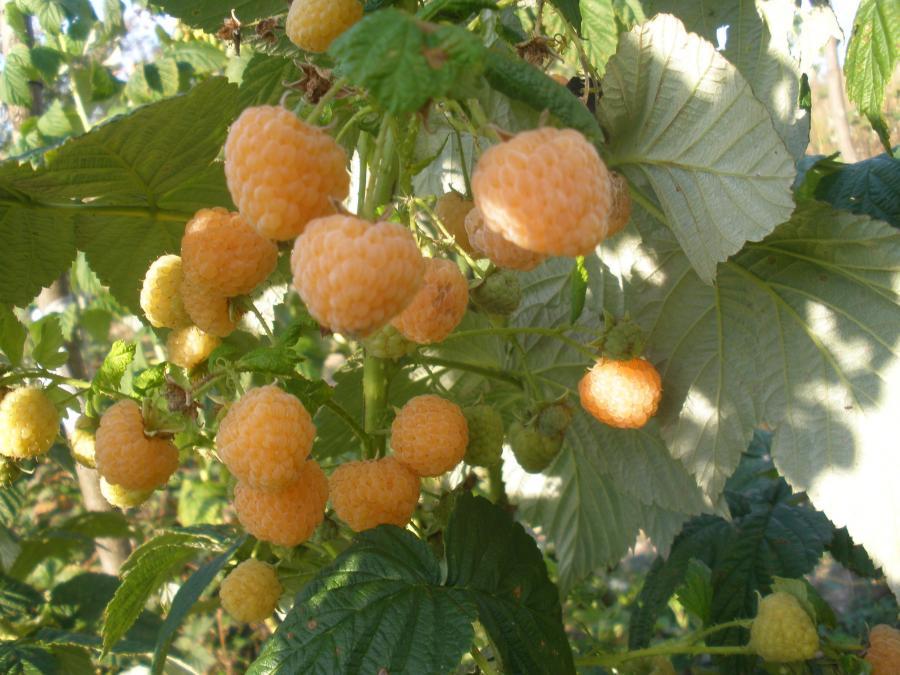 Сорт желтоплодной малинки - Утренняя роса