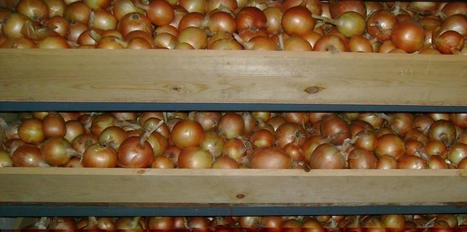Хранение репчатого овоща в подвале или погребе