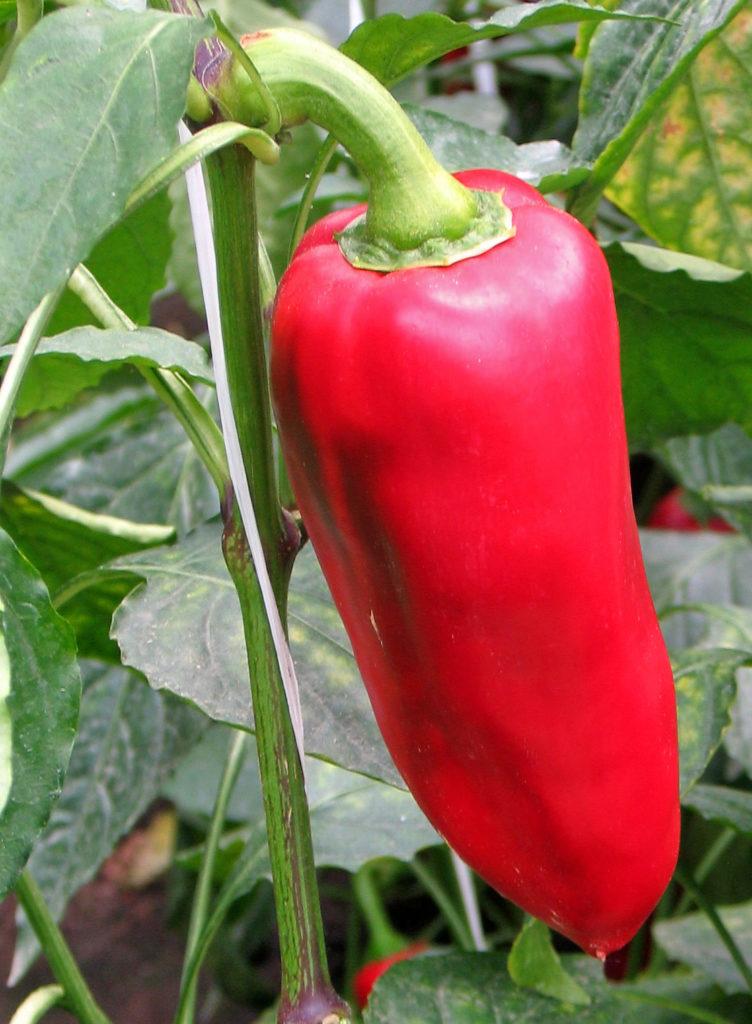 Сорт красного перца Буратино