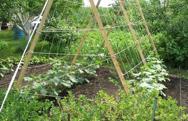 Наклонная шпалера на огороде