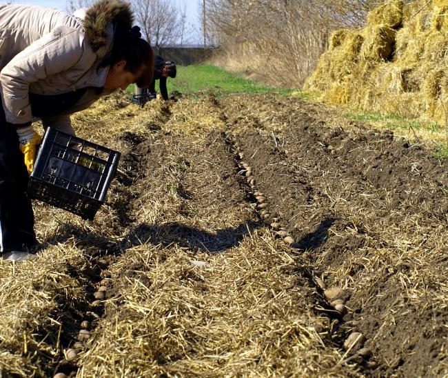 Посадка картофеля под солому - отменный урожай без хлопот!
