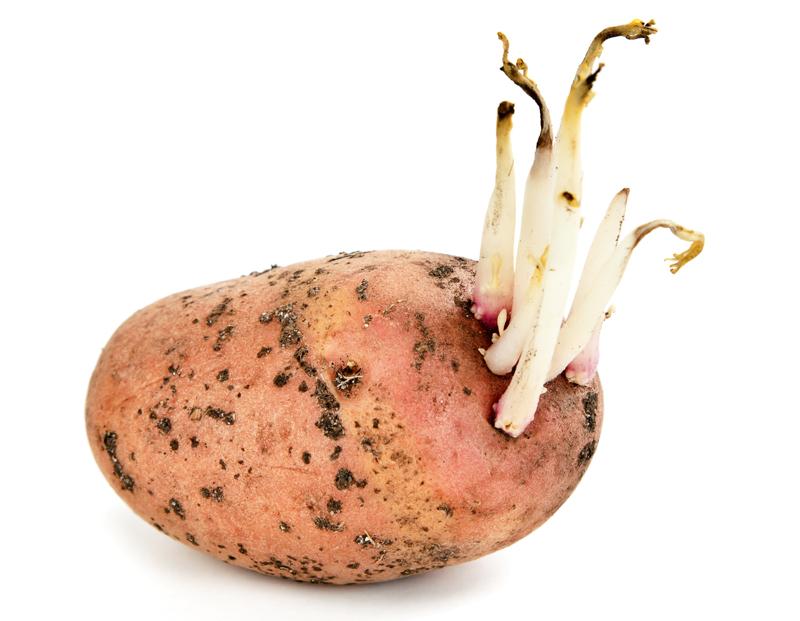 Картофель с проросшими ростками