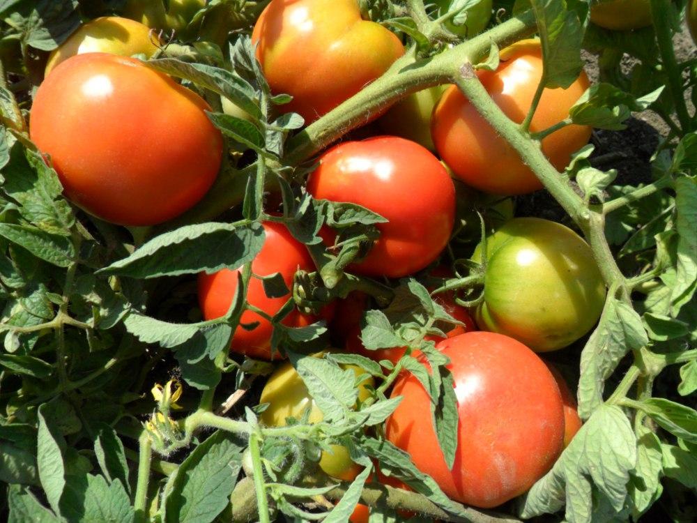 """Плоды томатов """"Титан"""" на кусте"""