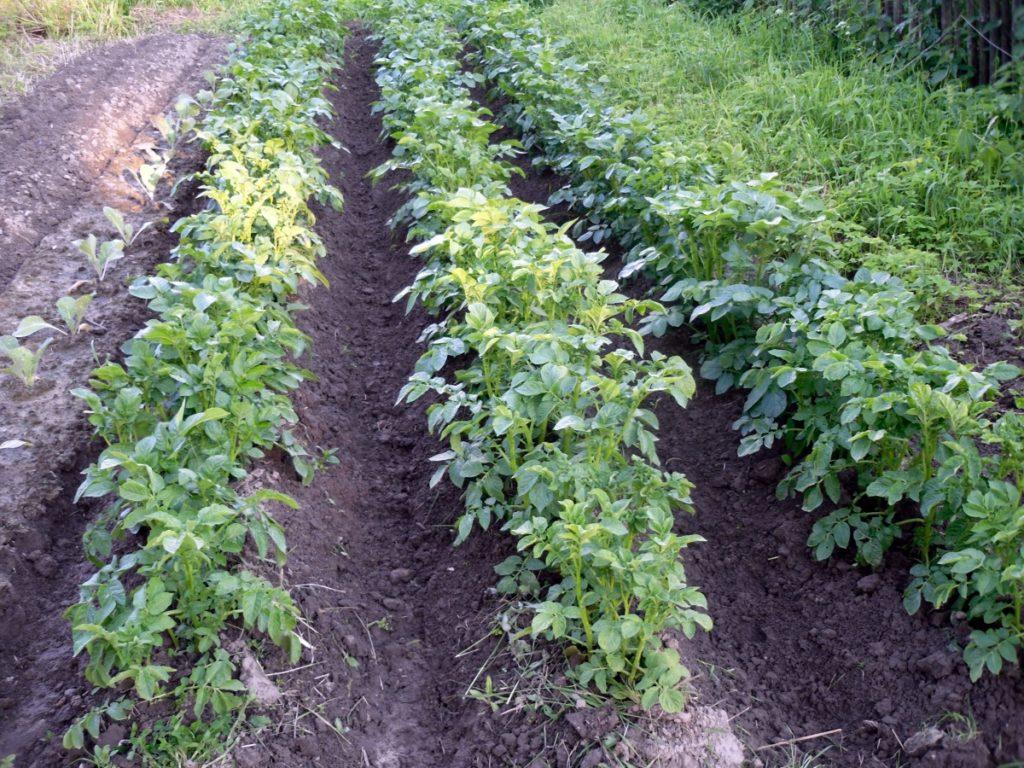 Высокие кусты картофеля