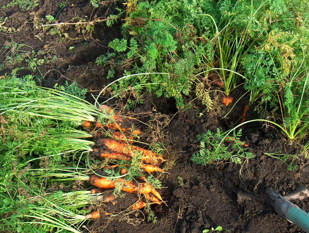 Урожай моркови на огороде