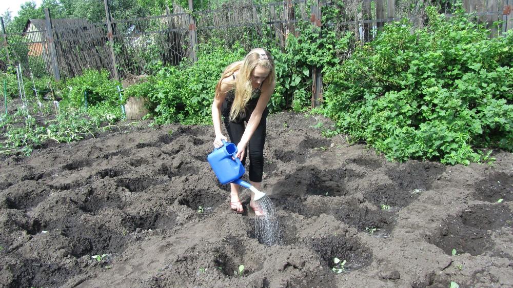 Полив высаженной капусты раствором селитры