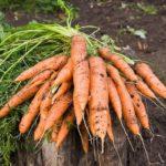 Урожай моркови на пне