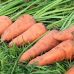 Урожай морковки на грядке