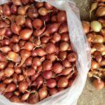 Урожай лука в кульках