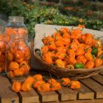 Урожай перца Хабанеро на огороде