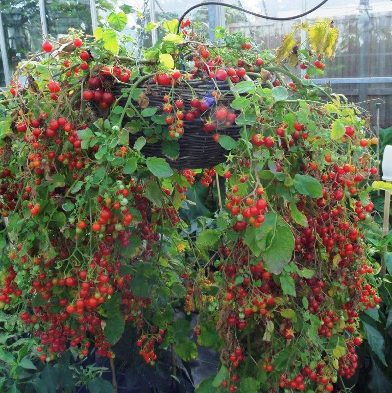 Украшение сада - томаты Рапунцель