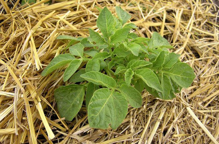 Куст картошки под соломой