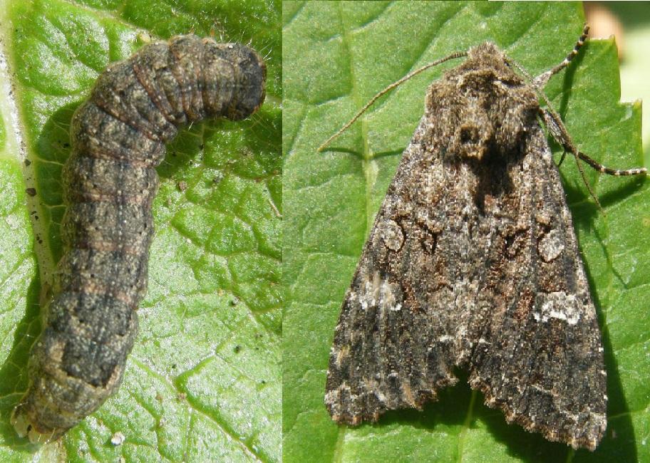 Бабочка и личинка капустной совки
