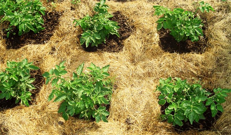 Мульчирование картофеля соломой