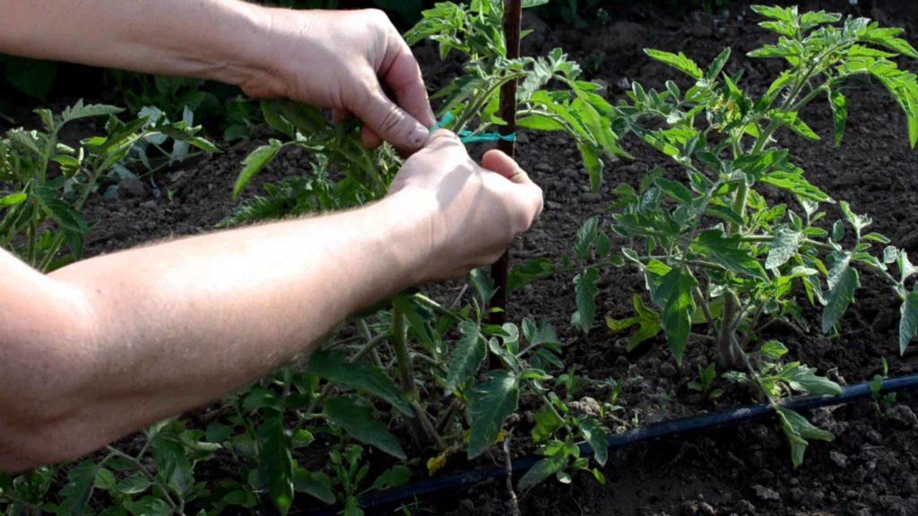 Пасынкование помидоров в телпице
