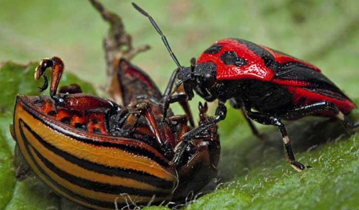 Клоп периллюс убивает колорадского жука