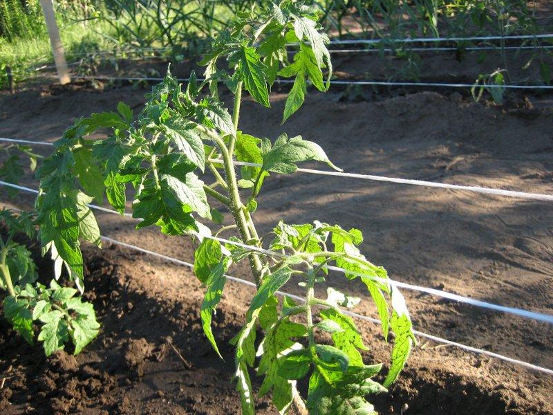 Подвязка растений и плодов томата